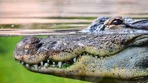 Mira a 'Godzilla' versión cocodrilo, es real y vive en ...