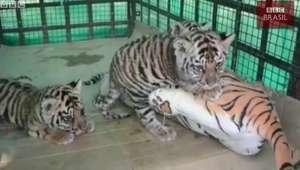 Filhotes órfãos de tigre 'adotam' mãe de pelúcia