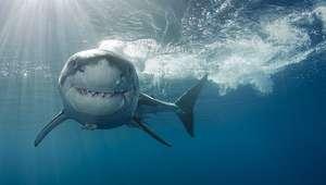 Extraño animal devora la mitad un tiburón en Florida