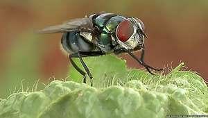De infecções a pneumonia, estudo mostra que moscas podem ...