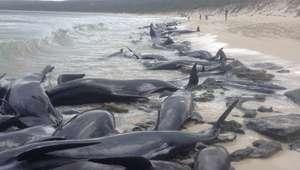 Baleias encalham em massa em praia na Austrália e ...