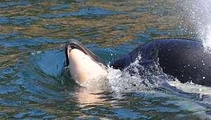 O surpreendente caso da orca que carregou o filhote ...