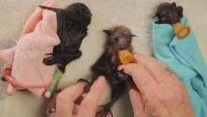 Morcegos-bebês provam que também podem ser fofinhos