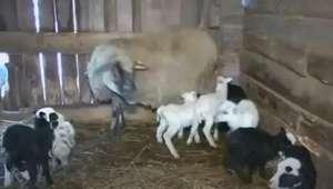 Ovelha de 9 anos registra novo recorde ao parir 8 filhotes
