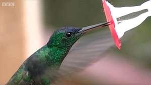 Biólogo cria flor de vidro para desvendar segredo da língua dos beija-flores