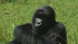 Cresce para mil a população de gorilas em risco de extinção