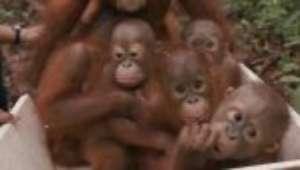 Obra ameaça uma das maiores populações de orangotangos ameaçados de extinção