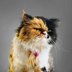 O que acontece se cortarmos os bigodes do gato?