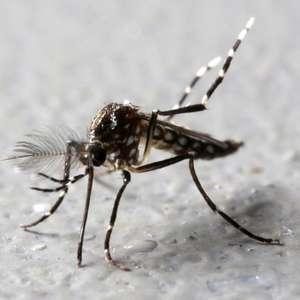 Fique alerta! Saiba como combater o mosquito Aedes aegypti