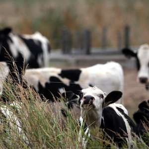 Caso de vaca louca faz Brasil suspender carne para a China