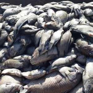Tietê muda de cor e 40 toneladas de peixes morrem em Sales