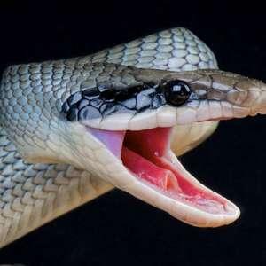 Picadas de cobra causam 200 mortes por dia, no mundo
