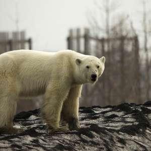 Ursa polar exausta vai parar em cidade do norte da Sibéria