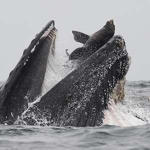 Fotógrafo registra momento em que baleia-jubarte quase ...