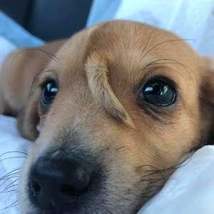 Cão unicórnio: Filhote de cachorro que tem rabo no rosto ...