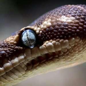 Em um mês, jovem indiano é picado 8 vezes pela mesma cobra