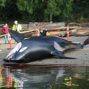 O que está matando as baleias assassinas?