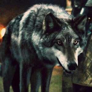 DNA antigo revela segredos dos lobos de 'Game of Thrones'
