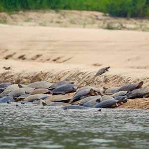 Você sabe como as tartarugas se comunicam?