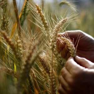 Plantio de trigo do RS vai a 95% da área em semana de ...