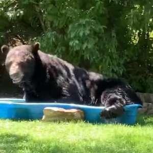 Urso é flagrado relaxando em piscina infantil de ...