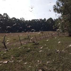 Governo argentino recebe alerta sobre quarta nuvem de gafanhotos