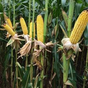 Bayer lança dois novos híbridos de milho com foco no ...