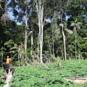Estudo revela cultivos e plantas alimentícias indígenas ...