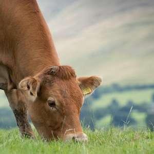 Por que 'dar carvão' às vacas pode ser bom para o meio ...
