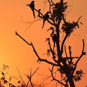 Avanço do fogo ameaça santuário de araras azuis no Pantanal