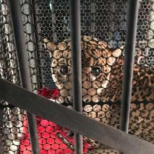Queimadas no Pantanal: a luta pela sobrevivência do maior felino das Américas em meio aos incêndios