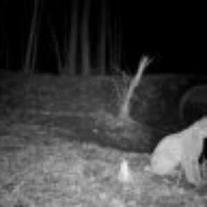 Animais de Chernobyl: videos raros mostram animais selvagens em área abandonada de desastre nuclear