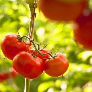 Clima em setembro preocupa produtores de tomate estaqueado