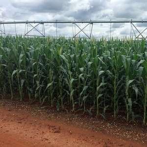 Paraná atrasa plantio de milho, aguarda chuva para soja ...