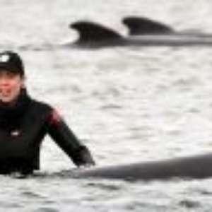Equipes tentam salvar centenas de baleias encalhadas na Tasmânia; veja