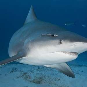 Grávida salva marido de ataque de tubarão na Flórida
