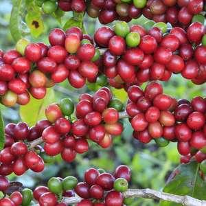 Clima beneficia o café arábica