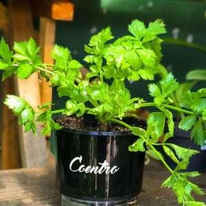 Como Plantar Coentro: Aprenda Plantar Semente em Vaso, ...