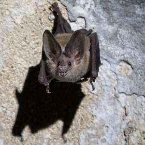 Morcegos praticam distanciamento social quando estão ...