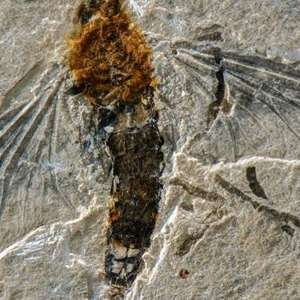 Fóssil de inseto ajuda a desvendar pré-história do Brasil