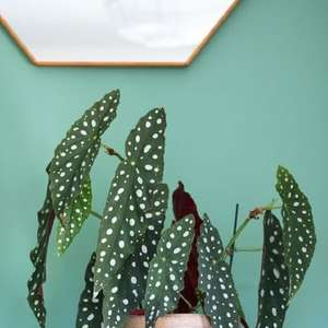 Begônia Maculata: Aprenda Como Cultivar a Famosa Planta ...