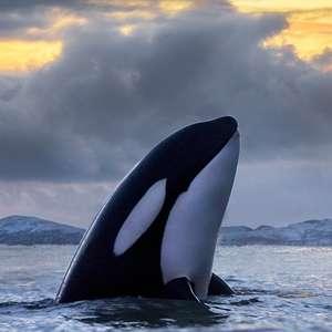 Os estranhos ataques de orcas contra barcos na costa de ...