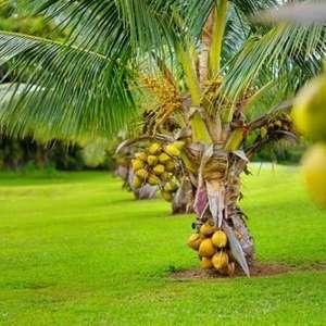 Coqueiro Anão: Como Cuidar, Dicas para Plantar e ...