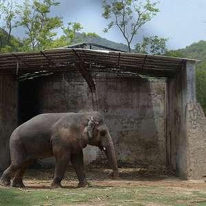 O elefante 'mais solitário do mundo' será libertado após 35 anos de maus tratos em zoológico