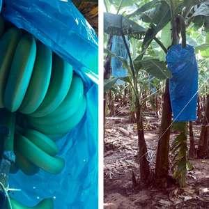 Inovação no cultivo da banana evita uso de defensivos