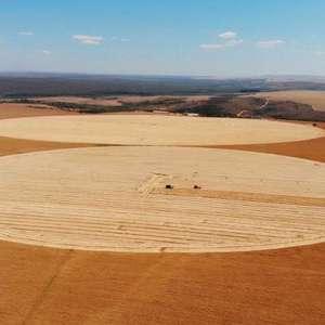 Desafios e oportunidades para o trigo no Cerrado