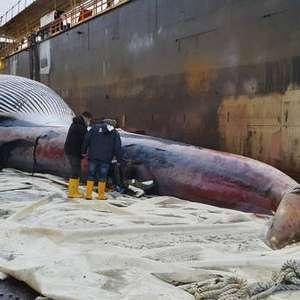 Carcaça de baleia gigante é encontrada em porto na Itália