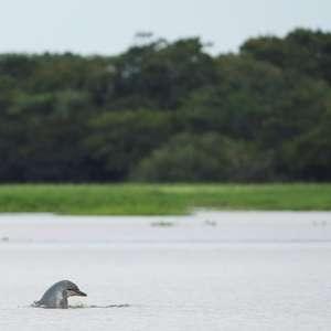 Tucuxis do Rio Amazonas correm risco de extinção, ...