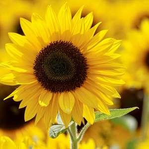 Simpatias com flores amarelas para atrair amor e ...