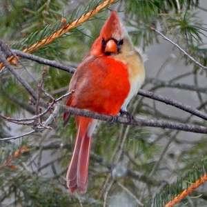 'Metade fêmea, metade macho': pássaro raro é fotografado nos EUA